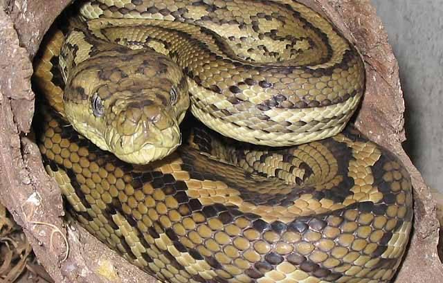 Hadi jsou prakticky bez výjimky predátory, velká část z nich navíc loví v noci. Pro vylepšení jejich loveckých schopností se u některých z nich vyvinul zvláštní orgán, který jim umožňuje vidět v infračervené části spektra. Američtí vědci nedávno publikovali článek, v němž odhalili podstatu nočního hadího vidění na úrovni molekul.