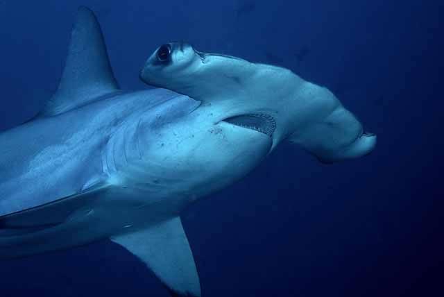 Předek všech žraloků kladivounů se objevil v pozemských oceánech přibližně před 20 miliony let a jeho velikost byla přibližně stejná jako u dnešních největších druhů. Na studium kladivounů se nyní zaměřili vědci z Coloradské univerzity v americkém Boulderu a v jejich čerstvé studii nacházíme celou řadu překvapivých zjištění.