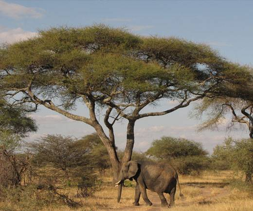 Na afrických savanách dokáží stovky drobných Davidů zvítězit nad Goliášem.   Američtí vědci nedávno zjistili, že drobní mravenčí Davidové dokáží velmi efektivně zabránit slonům-Goliášům v pustošení stromů.