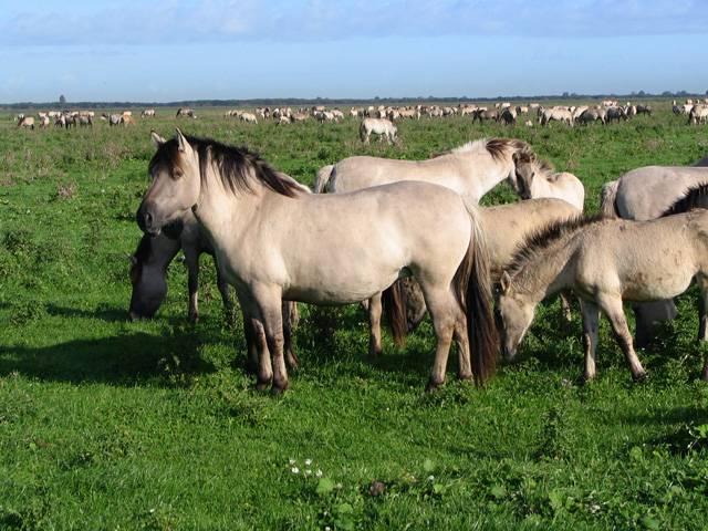 Zdomácnění koně znamenalo podobně jako zdomácnění skotu či ovcí a koz velký civilizační krok kupředu. Koně i jejich příbuzní, osli, jsou především vynikající jezdecká a tažná zvířata, zanedbatelná však není ani jejich schopnost poskytovat lidem maso a mléko. A jak přesně se klikatila cesta těchto lichokopytníků k lidským příbytkům?