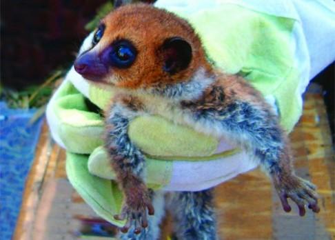 Objeven nový druh lemura