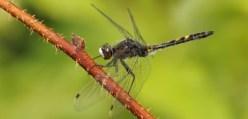 Ostravští vědci vytvořili aplikaci o vážkách