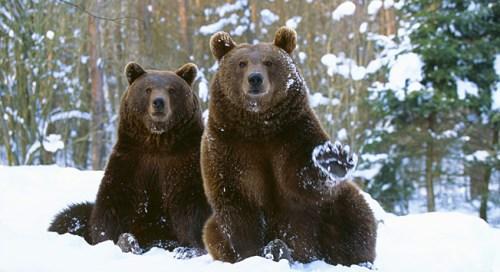 Medvědi na Kavkazu odmítají spát