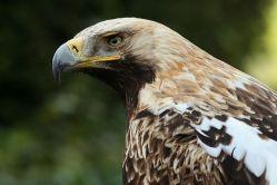 Vzácní orli královští už začínají hnízdit
