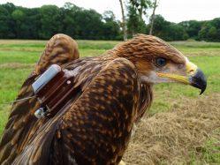 Jak letos hnízdili orli královští?