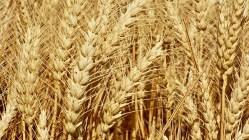 Zatočíme s hrozbou hladomoru? Vědci dokázali rozluštit DNA pšenice