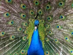 Výborní pěvci, nebo krasavci? Ptačí samci můžou mít jen jednu vlastnost!