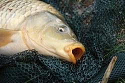 Jak předpovídat vymírání ryb v rybníce? Brněnští vědci hledají řešení