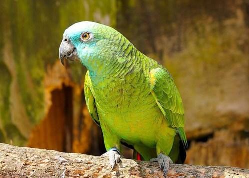 Papouščí mozek se vyvíjel podobně jako mozek člověka!