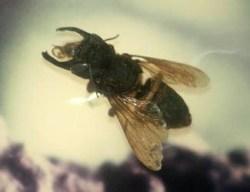 Největší včela světa