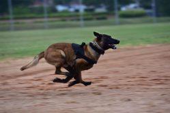 Číňané šetří čas i peníze: Klonují osvědčené policejní psy