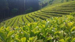 Zelený čaj: Bojovník proti obezitě
