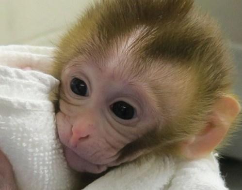 První primát na světě, který se narodil za použití techniky zmrazených tkání varlat