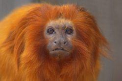 Volomoucké zoo se narodila dvě mláďata vzácné opice