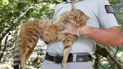 Objeven nový druh kočky