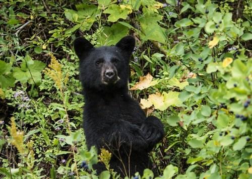 Mládě medvěda černého se přestalo bát lidí. Zastřelili ho