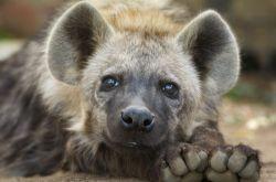Pravěké hyeny lovily vArktidě