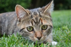 Studie Kalifornské univerzity: Proč kočky žerou trávu?