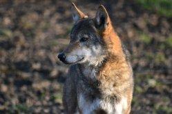 Vlkům se daří