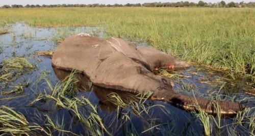 Co zabilo slony?