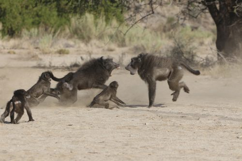 A dominant male Chacma baboon fights for access to females in Tsoaobis Leopard Park in Namibia in this 2007 handout photo provided by Eurekalert.org on November 12, 2014. Predators like leopards and cheetahs are not the biggest mortal threat to baby Chacma baboons, large and aggressive monkeys that live across southern Africa. That threat comes from adult males of their own species. REUTERS/Elise Huchard/Handout via Reuters (NAMIBIA - Tags: ENVIRONMENT ANIMALS SOCIETY) ATTENTION EDITORS - THIS PICTURE WAS PROVIDED BY A THIRD PARTY. REUTERS IS UNABLE TO INDEPENDENTLY VERIFY THE AUTHENTICITY, CONTENT, LOCATION OR DATE OF THIS IMAGE. FOR EDITORIAL USE ONLY. NOT FOR SALE FOR MARKETING OR ADVERTISING CAMPAIGNS. THIS PICTURE IS DISTRIBUTED EXACTLY AS RECEIVED BY REUTERS, AS A SERVICE TO CLIENTS. NO SALES. NO ARCHIVES