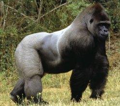 Zbytečná smrt gorily