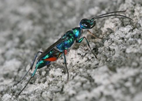 Vosa najde mozek švába podle tvrdosti hlavy