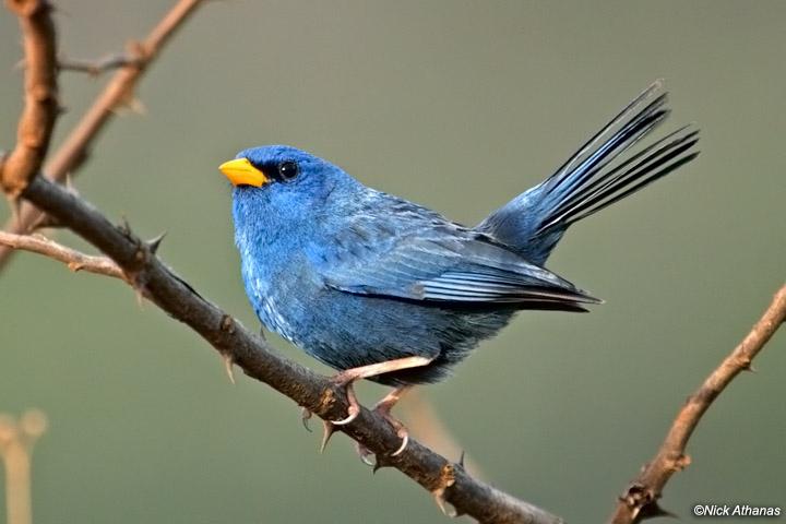 Blue-Finch-cipo_8212