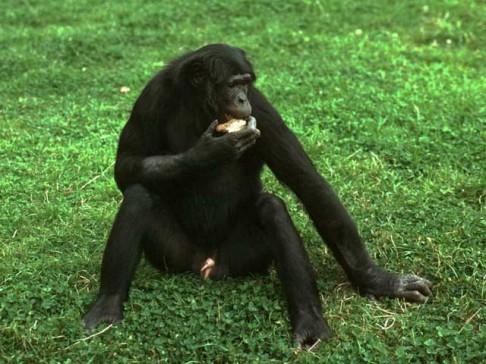 U šimpanzů vládne sexuální svoboda