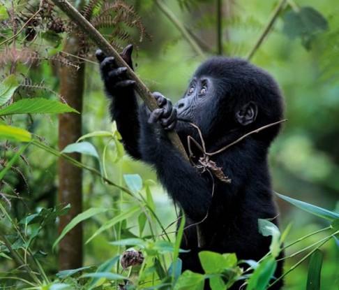 Lidský virus vraždí gorily