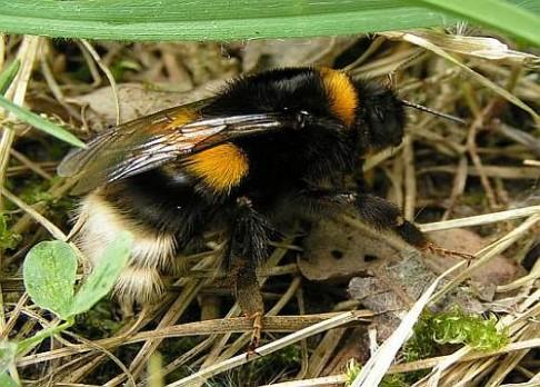 Pesticidy ničí čmeláčí královny