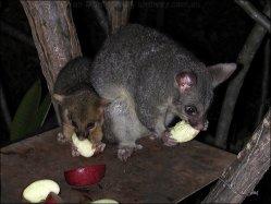 Drzé vačice v Austrálii