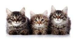 Jak si lidé ochočili kočky?