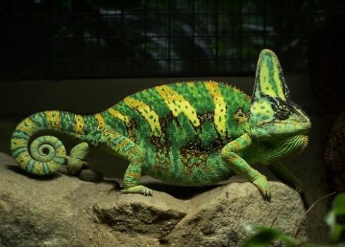 Chameleon nejen hýří, ale i mluví barvami
