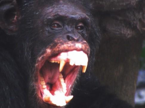Šimpanzi možná brzy vyhubí guerézy
