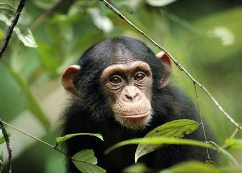 Mozek nenarozeného šimpanze ve 3D
