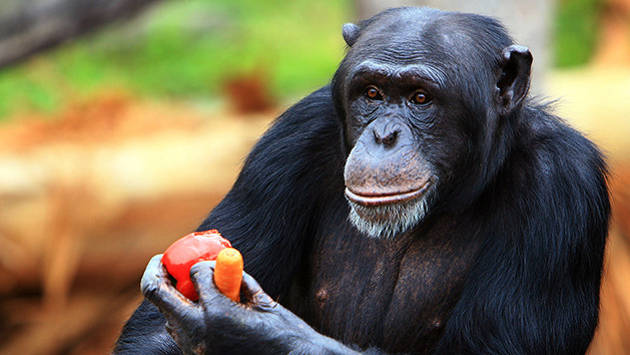chimpanzee_apple_1a6oc3s-1a6oc42