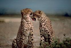 Gepardům hrozí vyhynutí víc, než kdy jindy