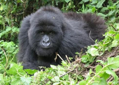 I gorily pojídají samičí hormony