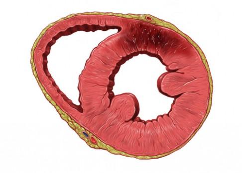 Endotelové buňky uzdraví srdce po infarktu