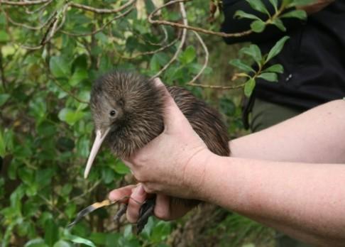 Kivi není z Nového Zélandu