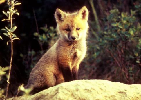 Lišky pochází z Blízkého východu