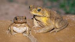 Ohroženou populaci australských ještěrek může zachránit změna jídelníčku