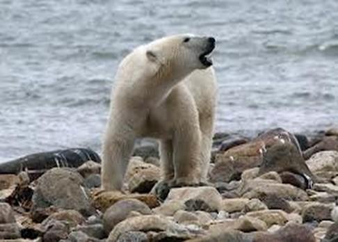 Mozek ledního medvěda je plný jedů