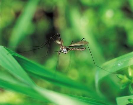 Umí komáři létat v dešti?