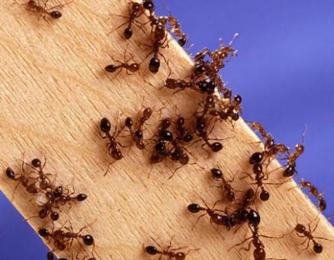 Mravenci se při povodni zachrání na vorech