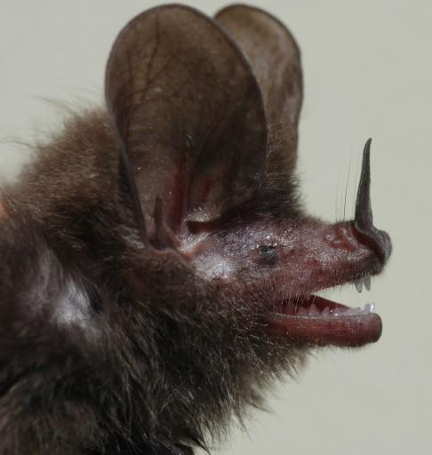 Nový druh netopýra z Karibiku