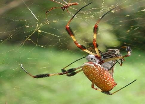 Pavouci žijící ve městech tloustnou