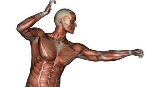 Silné svaly z tkáňové kultury