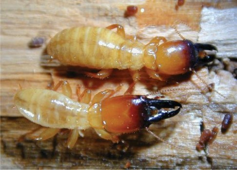 Vědci rozluštili genom termita